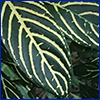 Deep green oval leaf with yellow veins