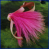 Bright pink flower of shaving brush tree