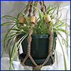 Spider plant in hanging macrame basket