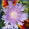 Fringy petaled, lavender flower of Stokes' aster