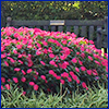 Mound of plants with dark green leaves and hot pink simple flowers