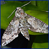 A gray and white mottled moth on green leaves