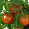 Three small red tomatoes on the vine