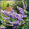 Clusters of small purple flowers arranged in spikes