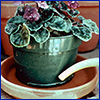 Potted African violet being handwatered