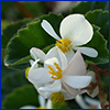 Wax begonia flower