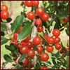 Red weeping yaupon holly berries
