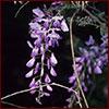 Chinese wisteria