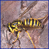 Female Southern yellowjacket