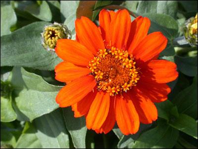 Plant Id Flowers And Foliage Zinnia Florida Master