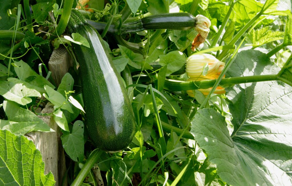 How To Grow Loads Of Delicious Zucchini The Most Versatile