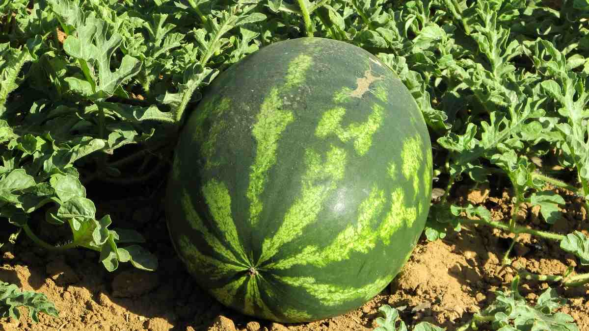 Growing Watermelon in pots is an excellent way for a gardener with limited space. Whether you are doing balcony gardening or are simply looking for a