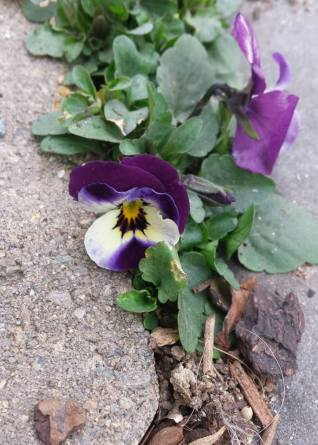 Pansies - Between a rock and a hard place.