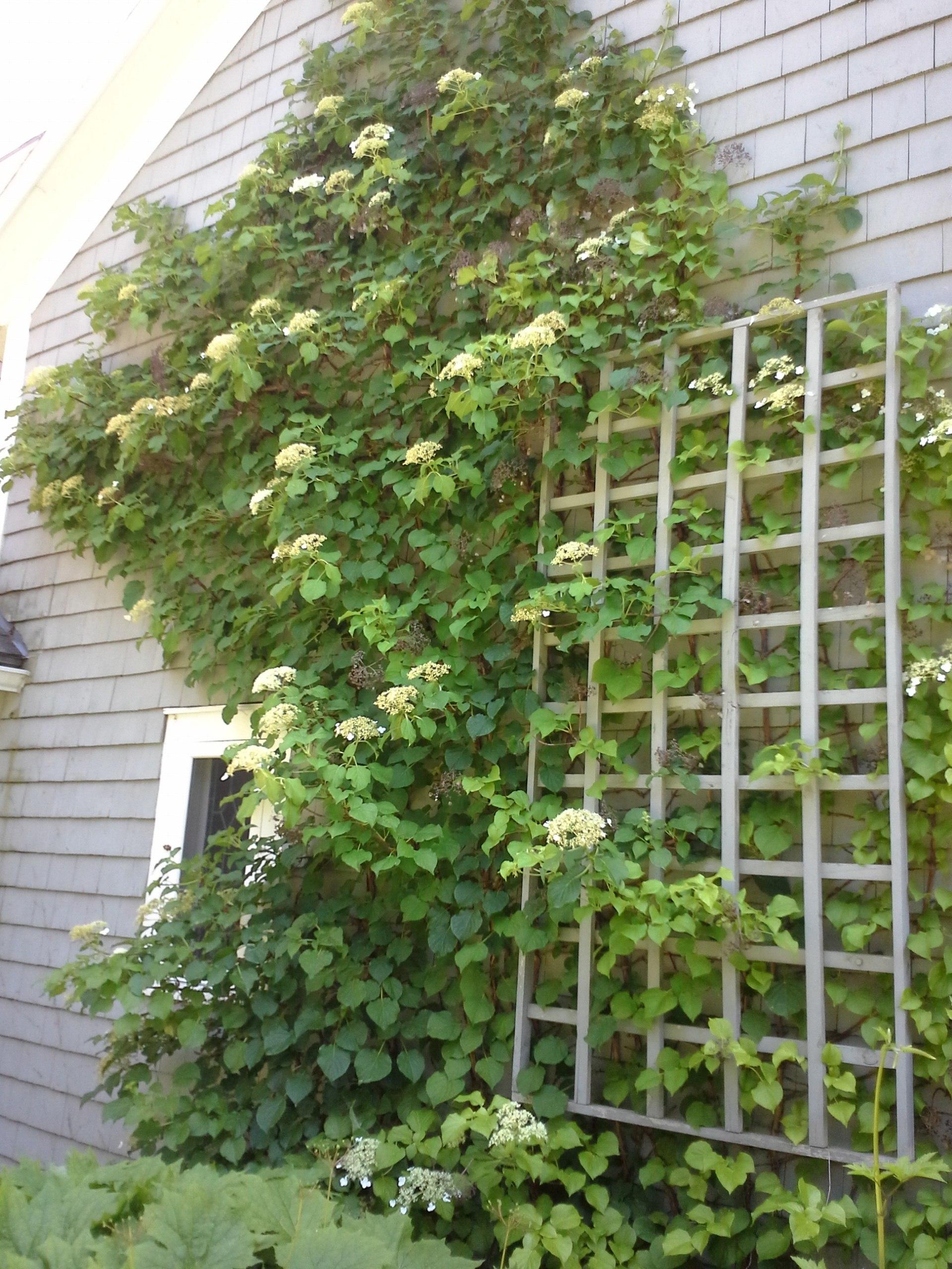 How To Grow Climbing Hydrangea Caring For Climbing Hydrangea