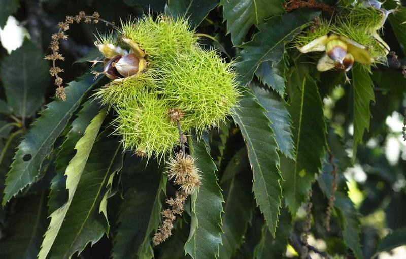 How To Grow Chestnuts Gardening With Charlie