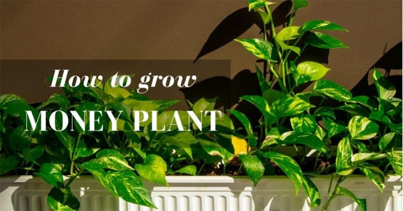 How to grow money plant