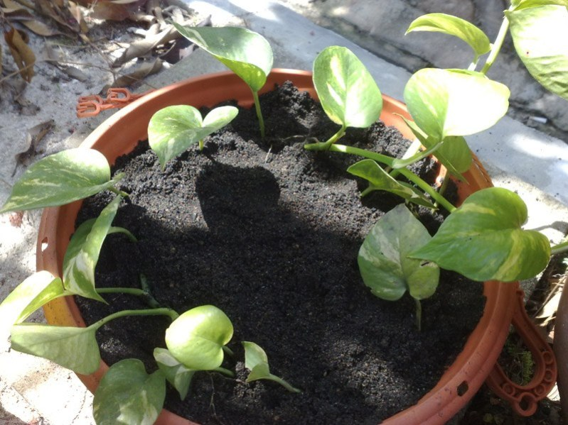 newly transplanted money plant