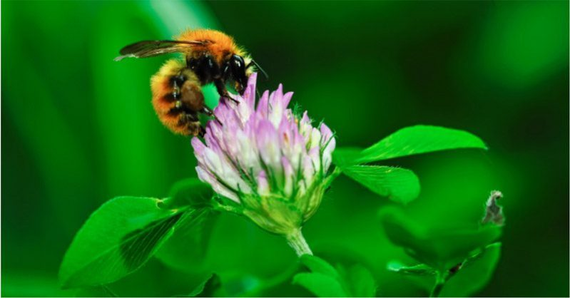 bee on red clover flower