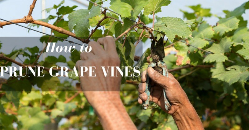 how to prune grape vines