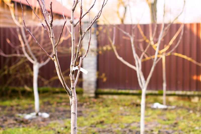 Freshly planted leafless young fruit trees in an early spring garden