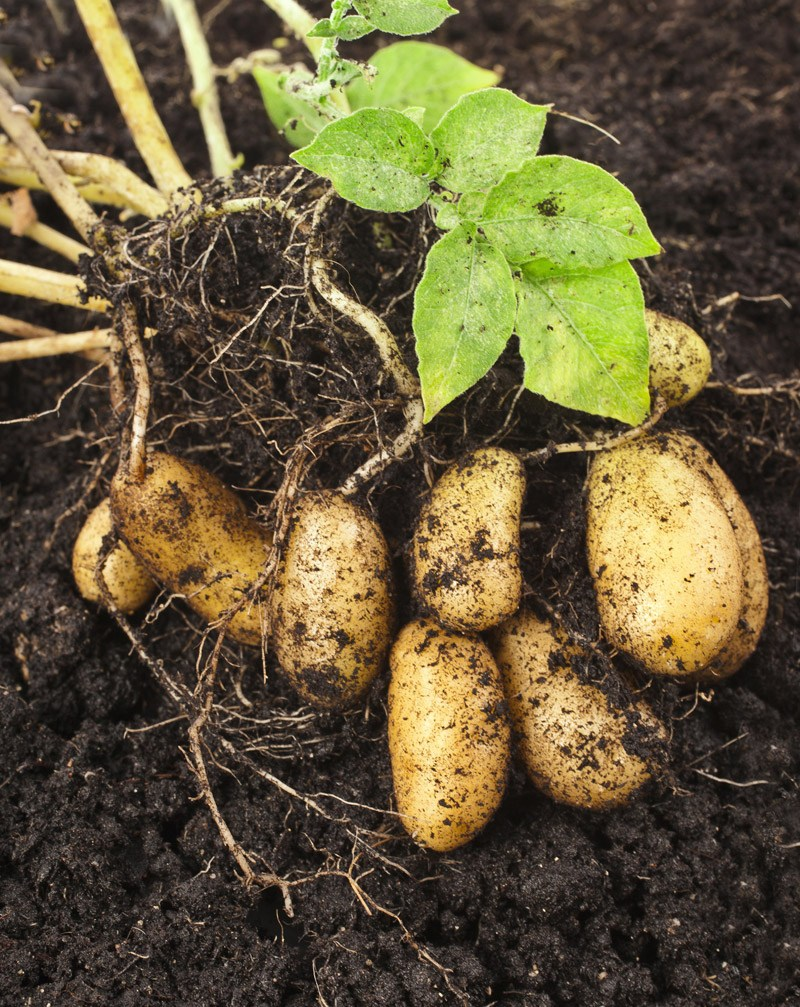 How Long Does it Take to Grow Potatoes