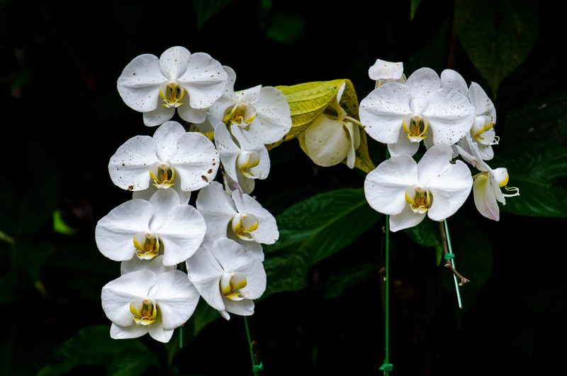 Orchid disease