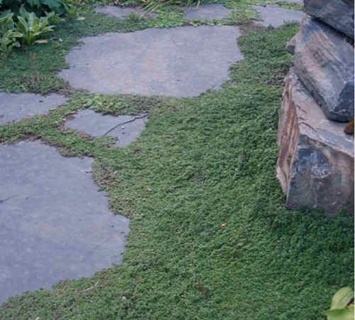 Wooly Thyme_ground_cover