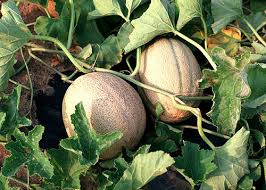 planting melons in garden