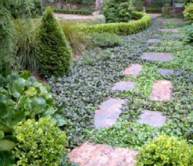 ajuga-groundcover