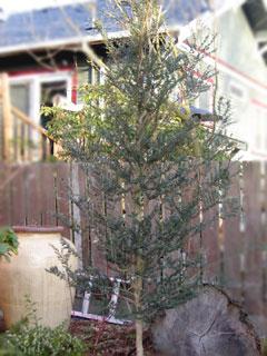 Plant Profile Azara Microphylla A Box Leaf Evergreen