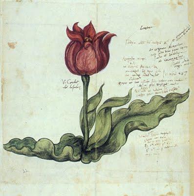 тюльпан гравюра