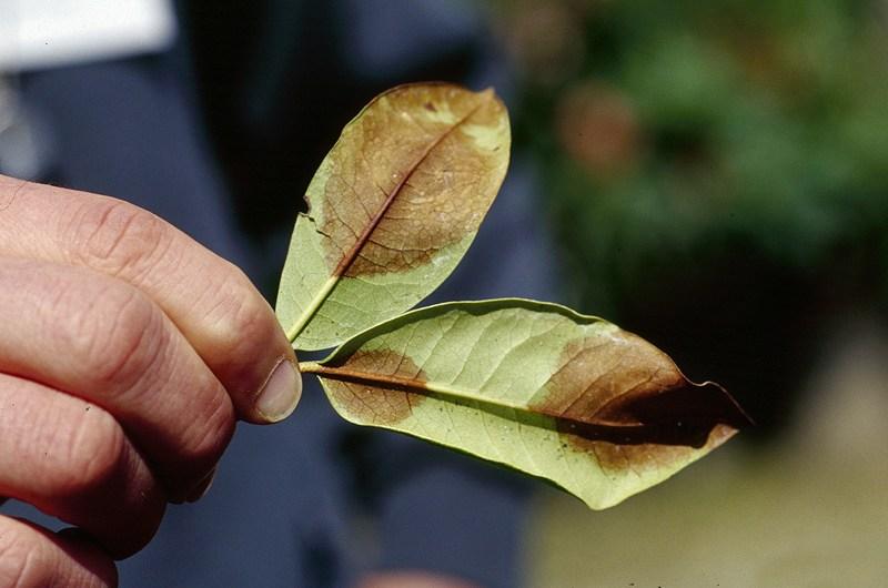 Phytophthora ramorum – новое заболевание лесных и декоративных культур