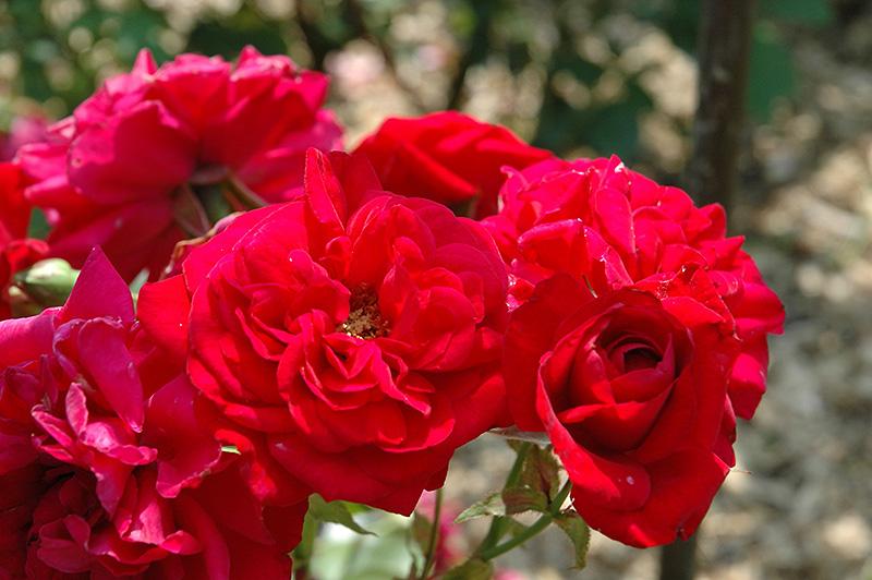 rosa Illusion