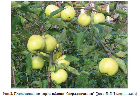 Плодоношение сорта яблони Свердловчанин