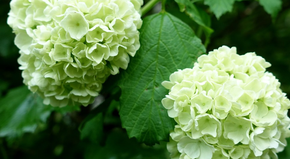 What's the Best Viburnum for My Garden?