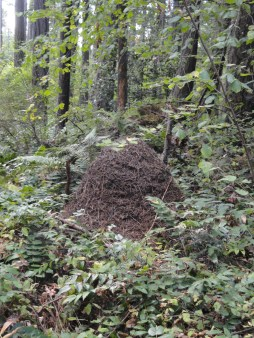 Ant Hill on the Trail in Tacoma