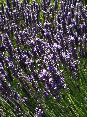 Lavender Haze 2 (vertical)