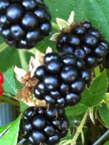 Wild Blackberries 1