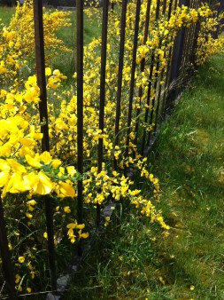 Scotch's Broom fenced