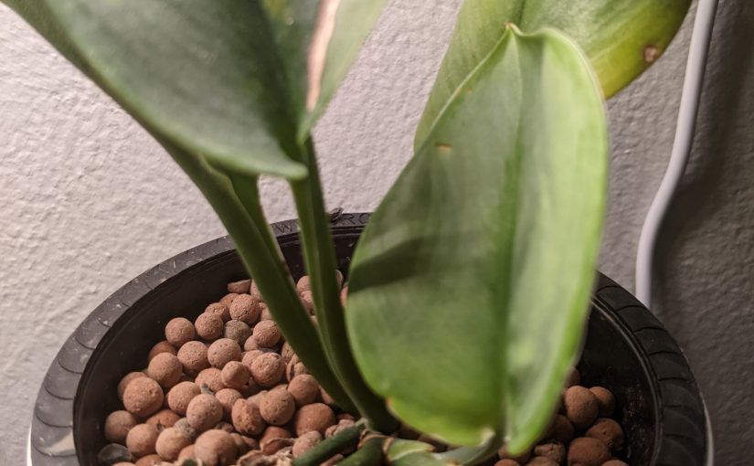 Holy Hydroponic Houseplants, Batman!: Can you grow houseplants without soil? Yes!