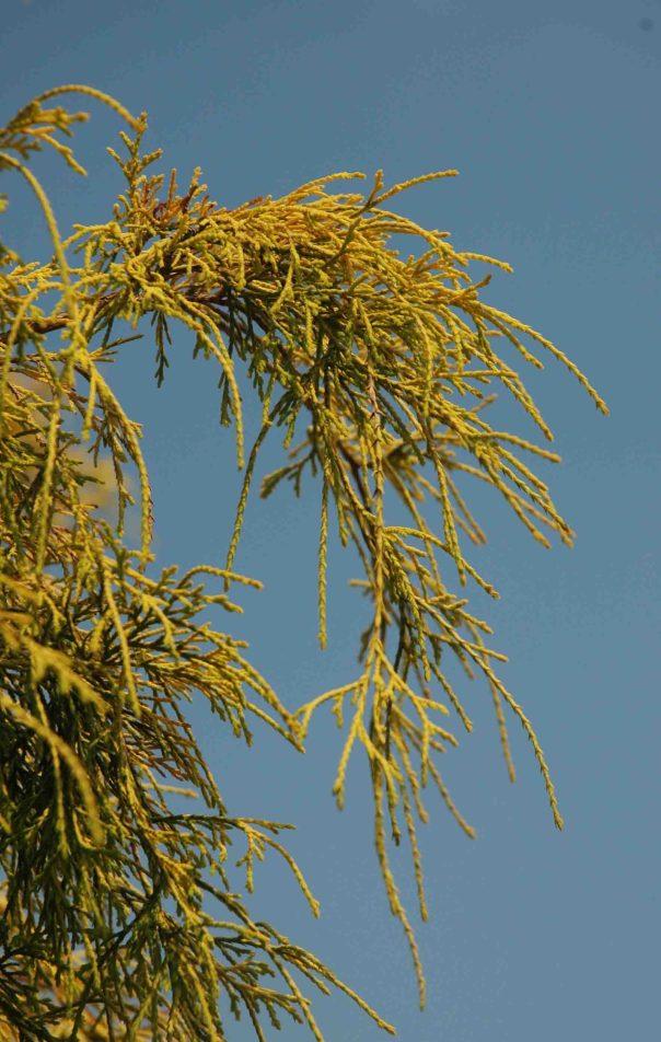 Chamaecyparis pisifera 'Filifera aurea '