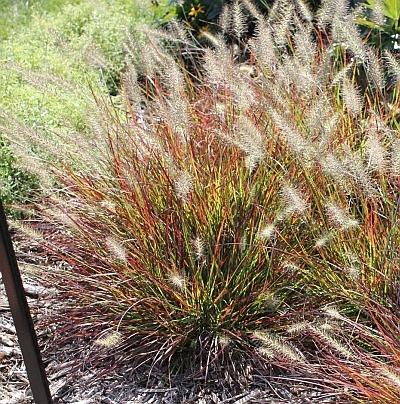 Fall For Ornamental Grasses The Garden Professors