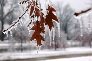 icy oaks