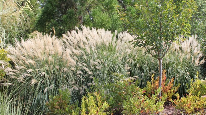 Mounded, rounded habit of Miscanthus as used at the Sarah P. Duke Garden (Durham N.C.).