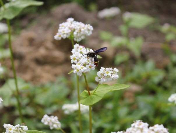 Blue Wing Digging Wasp on buckwheat.