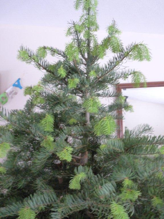 walking dead new growth on concolor fir christmas tree photo doug thalman