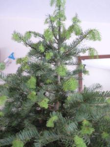Walking dead - new growth on concolor fir Christmas tree. Photo: Doug Thalman