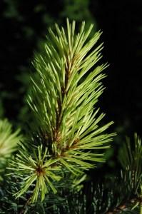 Pinus contorta  'Taylor sunburst'