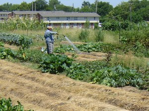 person watering vegetable garden with a hose