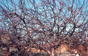 Pruning Overgrown Apple Trees The Garden Professors